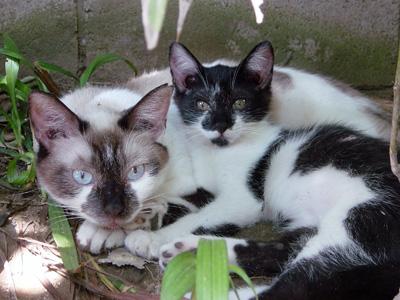 白黒猫オス3ヶ月里親募集中