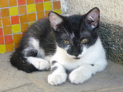 白黒猫ナナちゃんオス3ヶ月・里親募集中