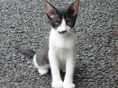 白黒猫ロクちゃんオス3ヶ月・里親募集中